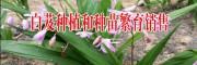云南白芨种植回收公司_云南明远中药材种植有限公司