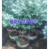 云南马缨花树桩树分布区域_红河屏边/