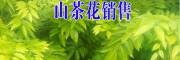 云南山茶花树销售信息