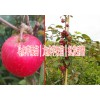 云南苹果苗木基地图片&云南马龙苹果树苗哪里多?