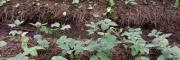 购重楼苗/免费提供种植技术公司