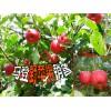 大理马登野苹果批发价格#大理哪里的苹果是野苹果