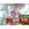 大理白族野苹果基地◆大理苹果种植户