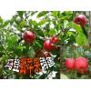 云南野苹果销售供应商◆云南野苹果怎么样?