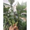 郑州富贵竹批发市场#哪里批发富贵竹便宜?