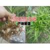 云南白芨种子◆云南白芨种植@云南白芨药材收购价格