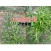 云南白芨药材收购价格@◆云南白芨多少钱一斤◆云南白芨块茎苗
