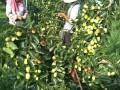 今年金丝小枣市场价格是多少?