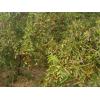 金丝小枣水果种植基地批发价格是多少?