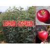 [云南大理哪里有苹果苗]【优质马龙苹果苗基地】