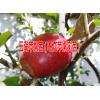 【优质马龙苹果苗基地】【云南苹果树苗新品种】咨询:15924856532