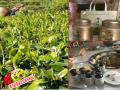 西南有机绿茶批发中心#中国西南绿茶主要产地在哪