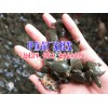 优质草龟,陆龟,水龟,外塘龟,云南草龟销售批发供应商