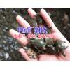 云南草龟销售_草龟多少钱一只?