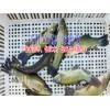 中华鲟鱼苗哪里有销售|叉尾鱼价格|叉尾鱼苗批发