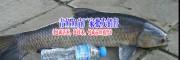 花骨鱼多少钱一斤|◆叉尾鱼价格|黄辣丁鱼价格