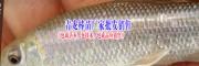 青龙棒、青鱼鱼苗、台湾泥鳅鱼苗(七十多种淡水鱼苗图片)