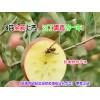 昭通苹果全国包邮#昭通苹果采摘(基地)+#昭通昭阳苹果