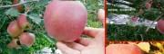 昭通苹果昭通苹果成熟时间