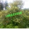 丹桂苗有多少个品种@35~60厘米桂花树多少钱?
