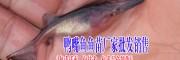四川省眉山市丰收水产鱼苗价格表: