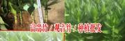 今日凤尾竹批发采购价格(0.6元)