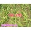 云南玉溪哪里的白芨种苗销售#玉溪白芨成品供应商
