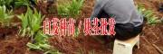 白芨图片,白芨品牌,规格/云南江川建峰农业开发公司