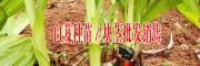 白及种植技术指导,种子批发,种苗繁育