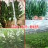 成都哪里有富贵竹供应#海口富贵竹出售#多少钱一株
