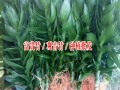 云南昆明附近哪里有荷花竹、观音竹、富贵竹种植培育基地