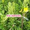 红河弥勒市鑫鑫药材野蚕豆根种苗/成品/种植技术