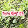 云南哪里野蚕豆根种苗销售| 产地红河野蚕豆根批发基地|
