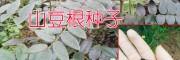 山豆根(又叫胡豆莲)|种子信息