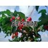 今年最新车厘子树苗 #适合云南种植的车厘子树