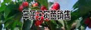 车厘子树品种:早大果/美早/桑提娜/黑珍珠/拉宾斯/红灯