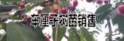 车厘子苗批发价格(早大果,美早,黑珍珠,红灯品种)