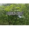 规格直径8-15公分核桃大树销售信息_云南森源农业公司
