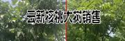 云新核桃树木#10000株云新核桃大树