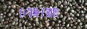 白芍种子种植(图片)