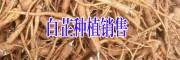 今年白芷种子/成品根茎/图片