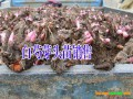 四川巴中白芍种子价格#白芍多少钱一斤