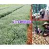 大理云龙白合种植基地(食用百合)介绍*适合云南种植的百合种子