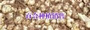 百合种(图片)