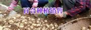 宣威/大理白合种植基地(食用百合)