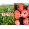 云南昭通红肉苹果出售信息