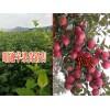 昭通苹果小苗批发供应#昭通苹果树苗批发市场报价