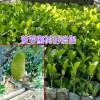 菠萝蜜苗|海南叶成秀菠萝蜜树苗供应商