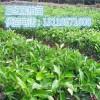 三红蜜柚苗&云南三红蜜柚水果树苗哪里有销售