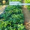 台农芒果树苗哪里的好#云南台农芒果小苗销售批发价格